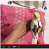 video of how to put nappy on your bird
